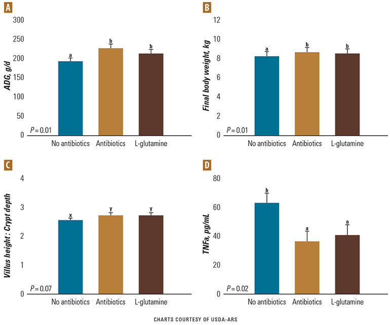 Charts: Impact of no antibiotics, antibiotics and L-glutamine on growth, intestinal health and immune function.