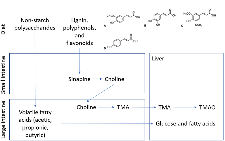 Diagram of diet, small intestine, large intestine, and liver content and biotransformation of non-starch polysaccharides and associated phytochemicals such as lignin and polyphenols.