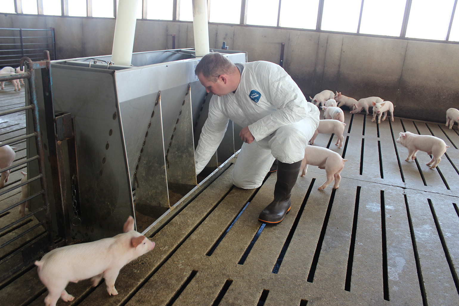 Let Your Pigs Tell You If Your Grow Finish Barns Are Ready