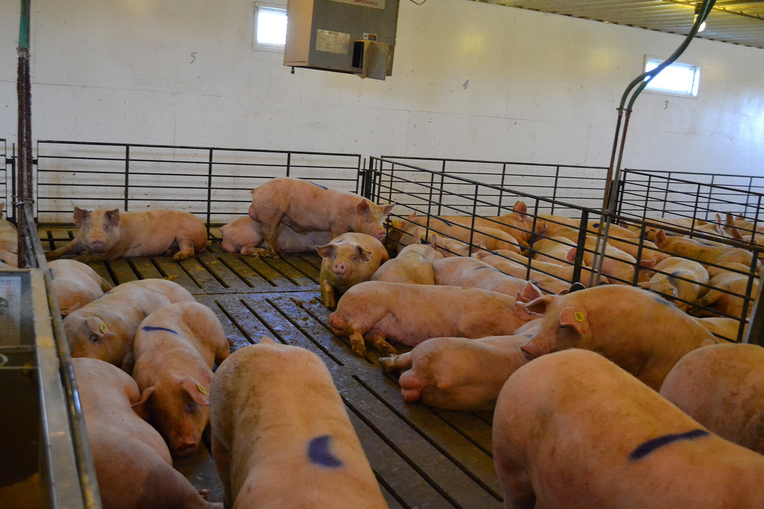 hog farming plan This detailed article explores several business opportunities, success stories and strategies for entrepreneurs in the pig farming business in africa.