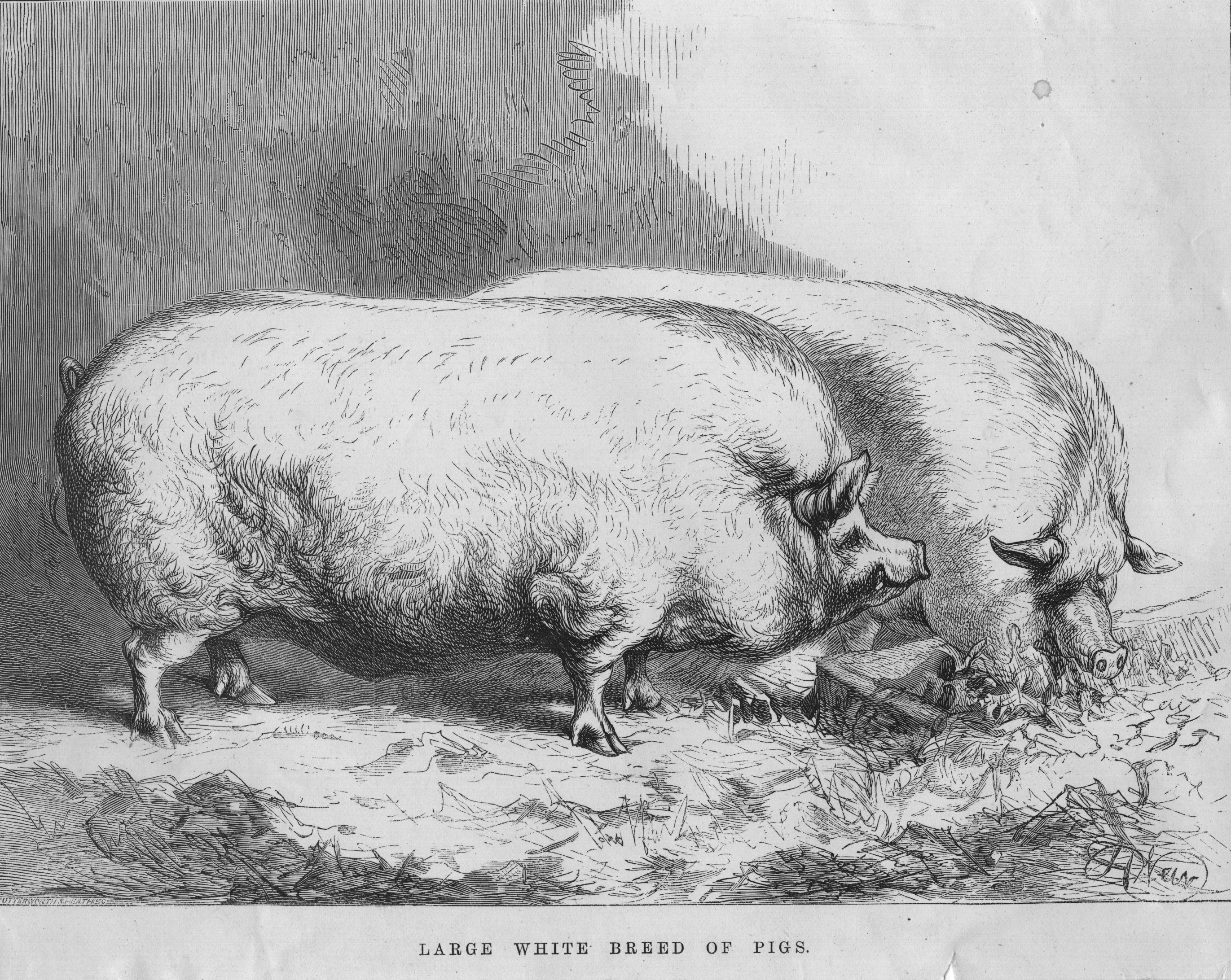 25 Fascinating Facts About Pigs National Hog Farmer