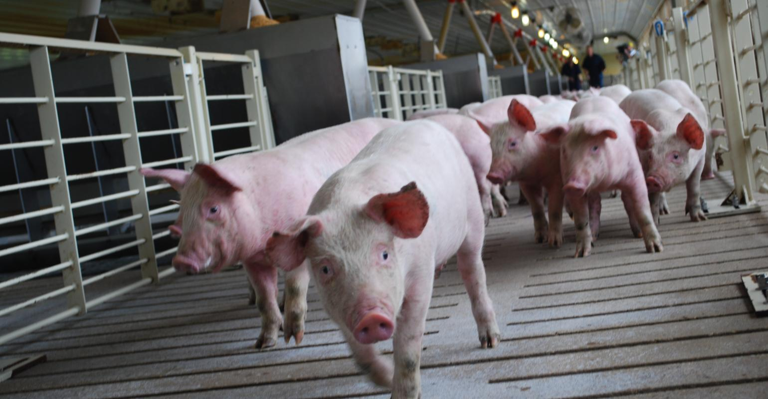 Canadians invest $2 million to study pig welfare ...