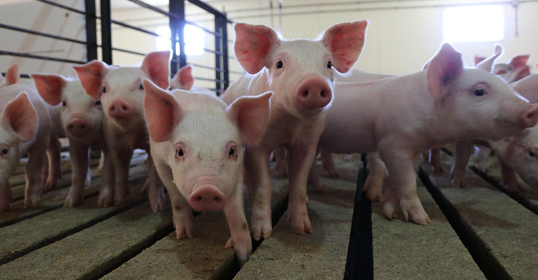 Gene editing: An evolution, not a resolution   National Hog