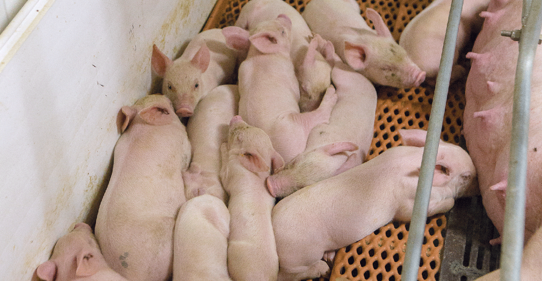 circovirus in pigs
