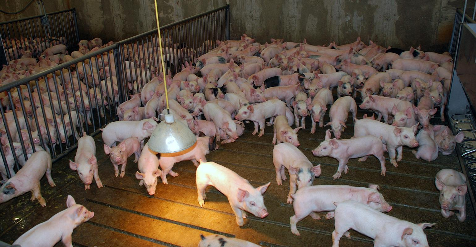 4 key factors to ask about pig sourcing | National Hog Farmer