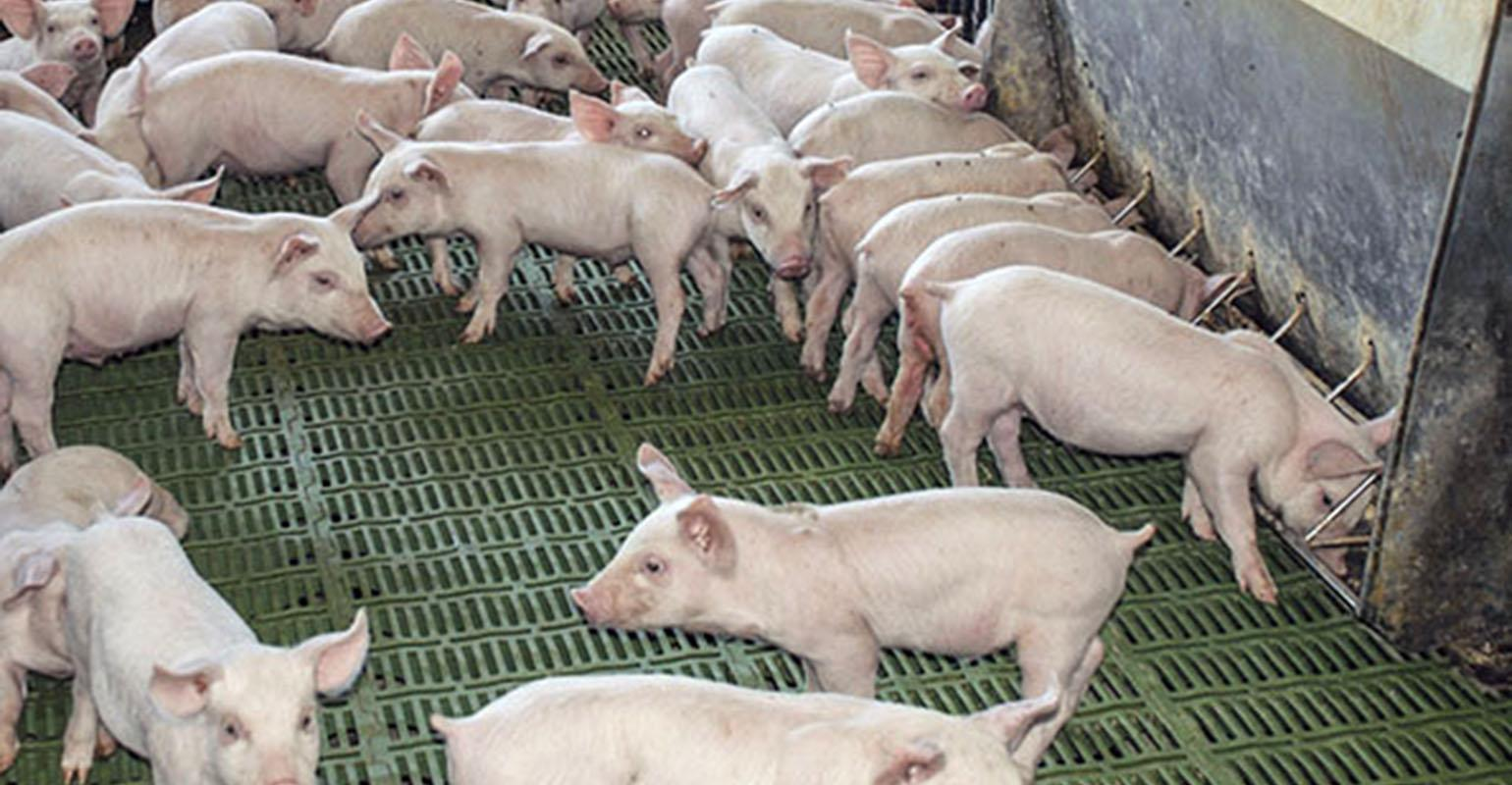 Does it pay to feed oils or fats to nursery pigs? | National