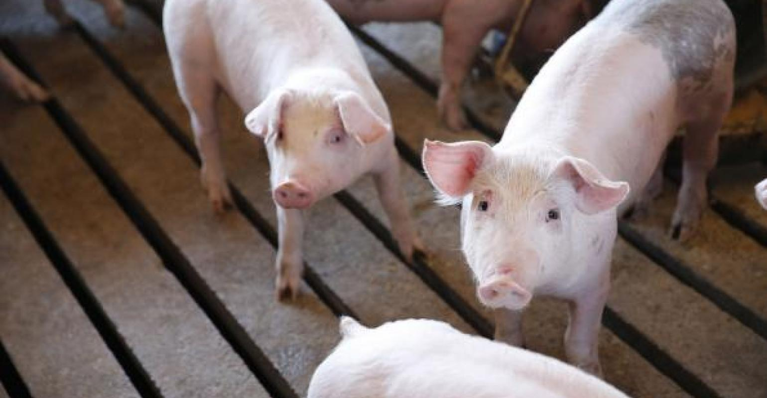 How does China pork production stack up to U S ? | National