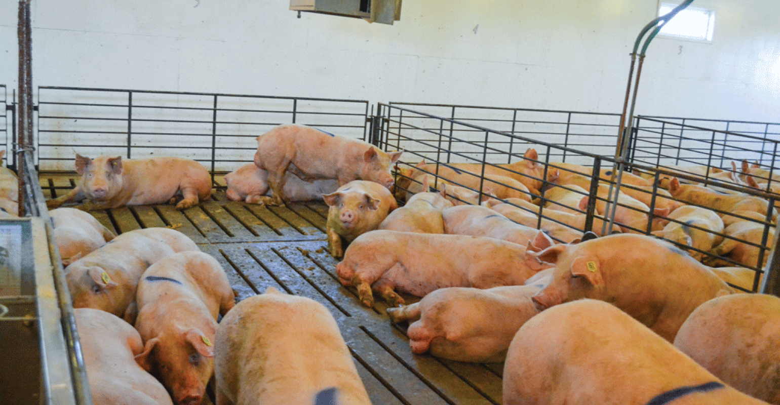 Male pigs grow faster, more efficiently with alternative