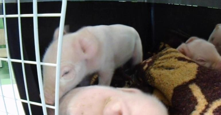 A new Pestivirus, the Linda-Virus, was recently discovered in Austrian shaking piglets.