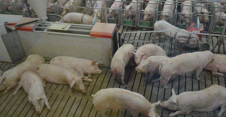 Group of sows