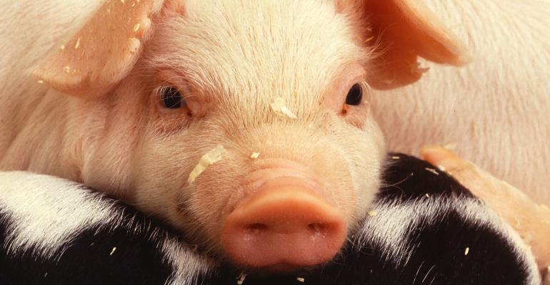 piglet resting