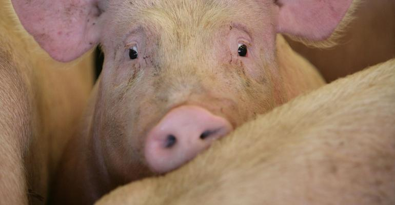 YORK, UNITED KINGDOM - SEPTEMBER 03:  A pig waits to be auctioned to farmers and buyers attending the York Livestock Auction after restrictions due to the Foot and Mouth Disease outbreak are eased on 3 September, 2007, York, England. Restrictions on cattle, pig and sheep sales at livestock markets have been lifted for the first time since the foot-and-mouth disease outbreak. Restrctions still apply in the Surrey disease affected zone.  (Photo by Christopher Furlong/Getty Images)