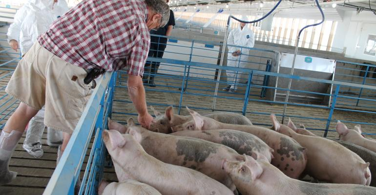 Rob Brehmannc caring for pigs