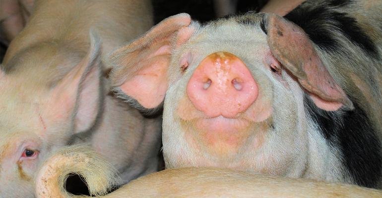 Closeup of group f hogs