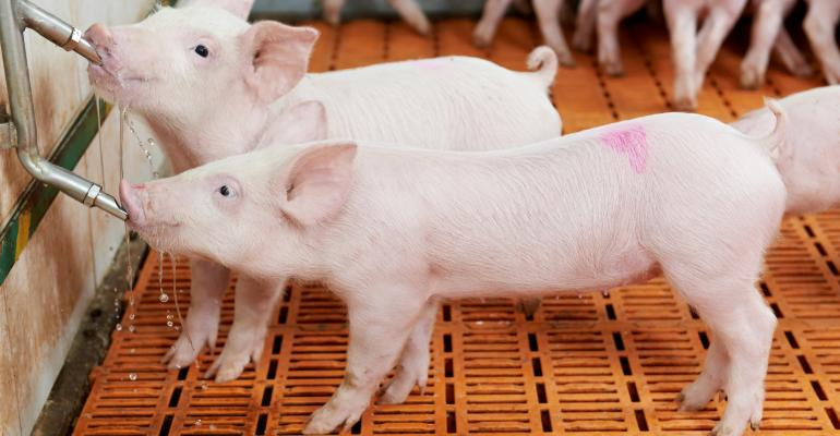 young piglets drinking at pig farm hog