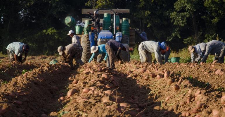 Migrant workers sweet potato field USDA.jpg