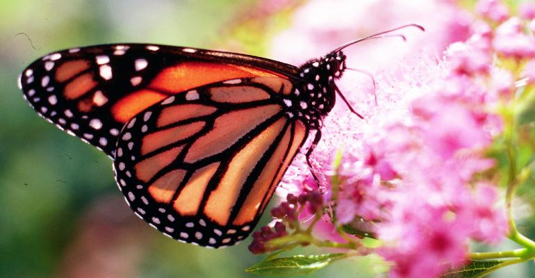 Monarch butterfly eating on a flower