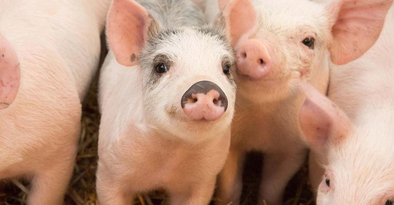 NHF-Anpario-pigs-1540.jpg