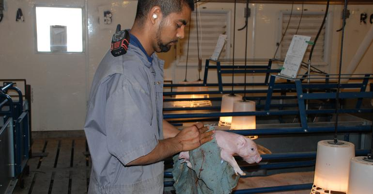Day 1 pig care is essential in getting the pig off to a great start (Thomas Livestock Co., Broken Bow, Neb.)