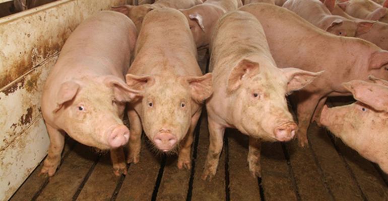 Three white pigs