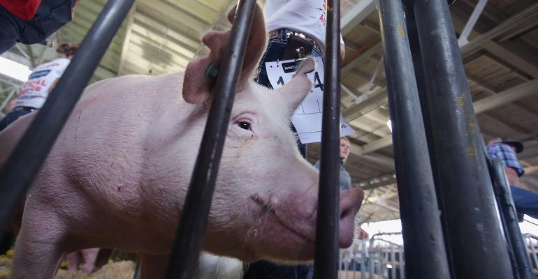 Pig at the Iowa State Fair