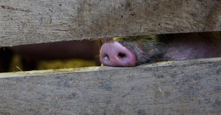 Pig snout poking through a wooden fence
