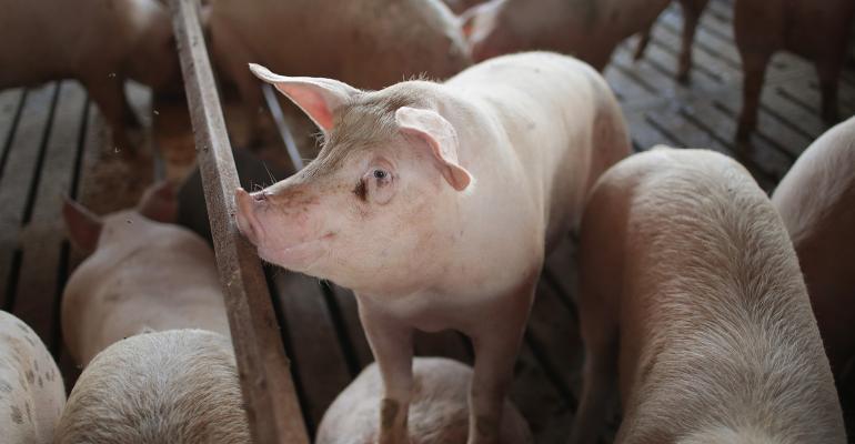 finishing pigs in a pen