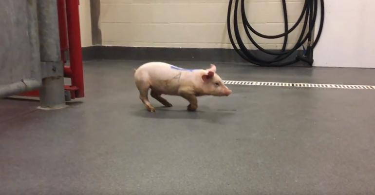 Pigs affected with PoAstV3 are commonly found lying on their side and unable to walk. Less severely affected pigs have difficulty walking and often knuckle over on the forelimbs as seen in this still captured from a video.