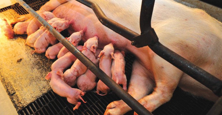 The swine industry lacks strategies to reduce the occurrence of prolapses on the farm, or even the ability to execute mitigation-based research projects, since a fundamental understanding of the true root cause(s) contributing to the increased number of pelvic organ prolapses is lacking.