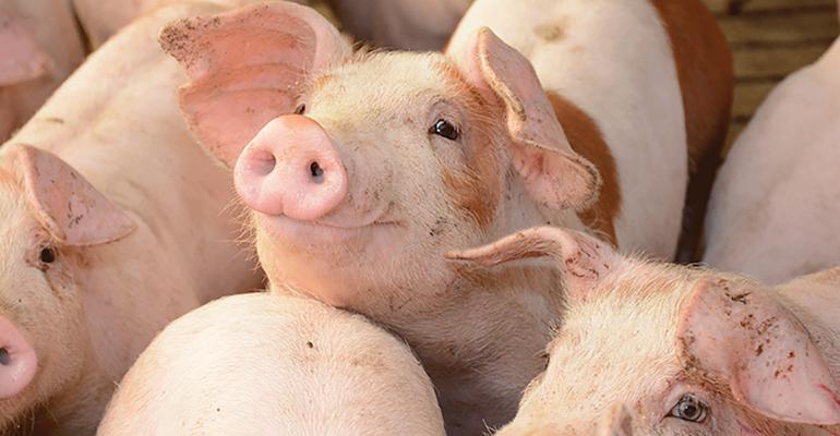 The Maschhoffs pigs
