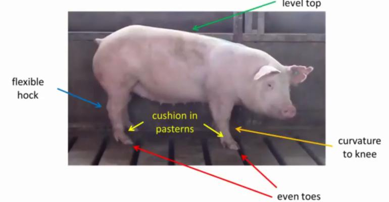 Still image from U.S. Pork Center of Excellence instructional video to help farmers, and livestock judges of all ages, evaluate gilt structural conformation.