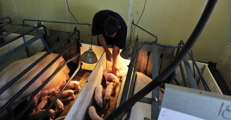 Caregiver checking on piglets in farrowing stall