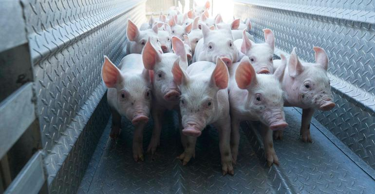 Young pigs on a ramp entering a barn