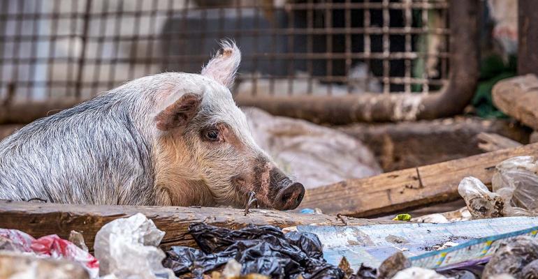 NHF-Oleksii Hlembotskyi-GettyImages-Pig-FoodWaste-1540.jpg