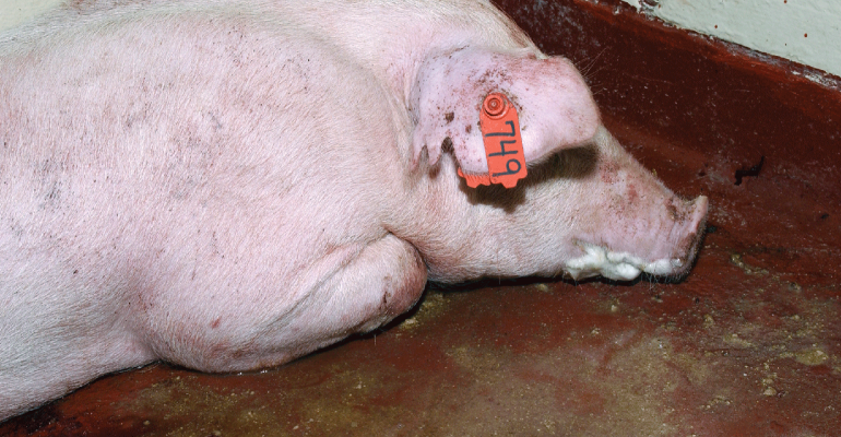 A real-time polymerase chain reaction assay for African swine fever has the potential to detect the virus in pigs two to four days prior to the appearance of clinical signs in the herd.