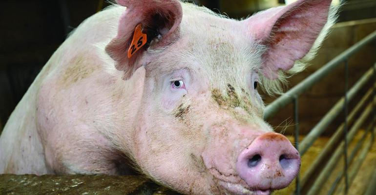 NHF-RoslinInstitute-pigs_1540.jpg