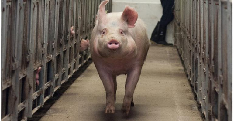 A sow runs down the alleyway between stalls after exiting the stall.