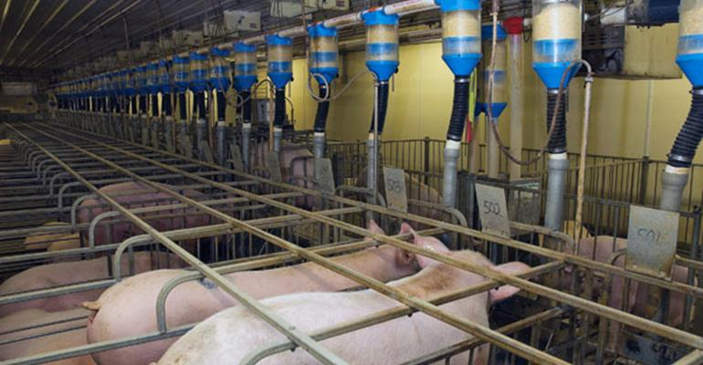 Sows in gestation stalls