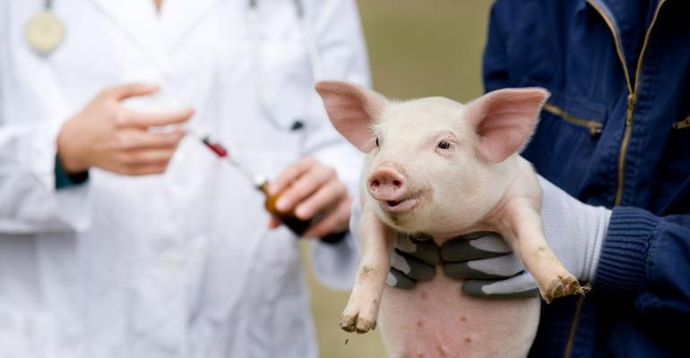 Veterinarian with young piglet, animal health