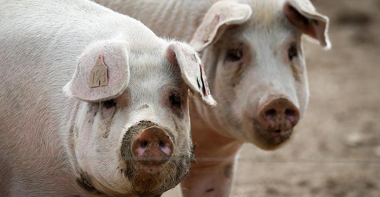 pigs in an outside lot