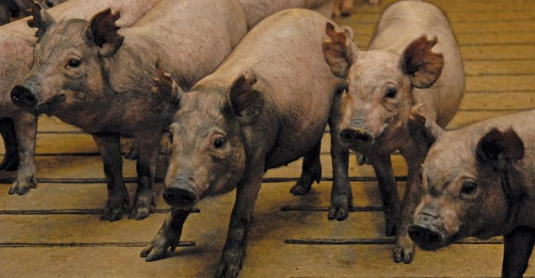 For long-term biomedical research, the Yucatan, a miniature pig breed that grows very slowly, is better than standard commercial pigs. Yucatans have symmetrically similar organs to humans.