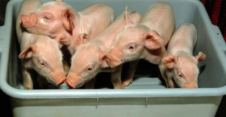 A basket of piglets