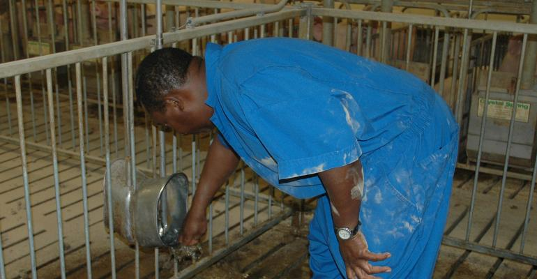 Checking the water flow from the nipple in a hog barn