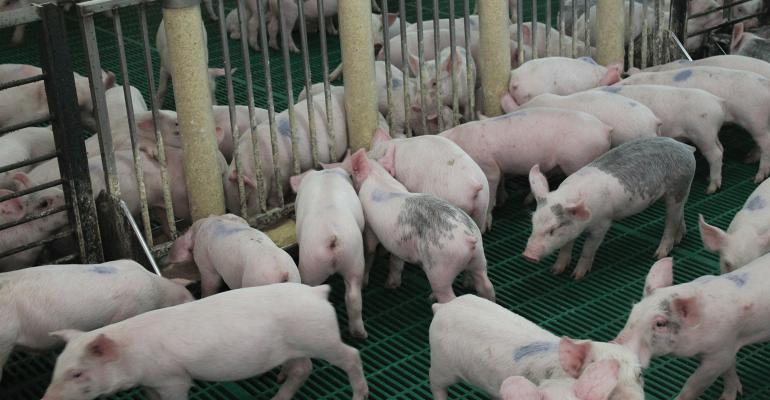 pigs in pen by feeder