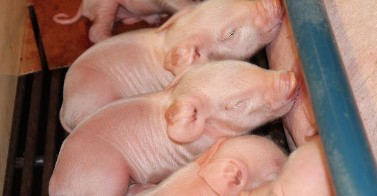 Closeup of young piglets nursing