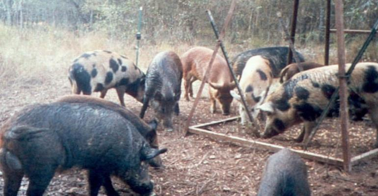 Group of feral hogs