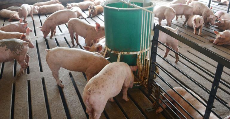 finisher pigs around a green feeder