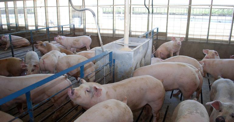 Finishing hogs inside a curtain-sided barn