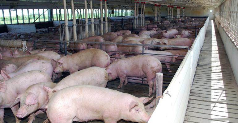 Wide shot of pigs in a finishing barn