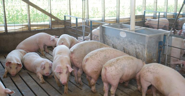 Finishing hogs at a feeder in a curtain-sided barn